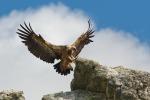 In volo da Francia, Spagna e Croazia: il grifone sceglie il Parco dei Nebrodi