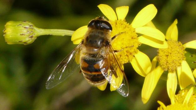 api estinzione, USA, Sicilia, Animali, Vita