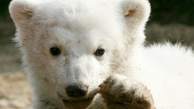 orso, zoo di berlino, Sicilia, Società