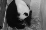Fiocco azzurro allo zoo: nasce cucciolo di panda gigante