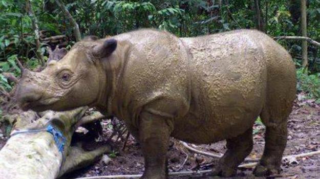 rinoceronte, riproduzione, Sicilia, Società