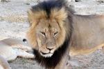 Lo Zimbabwe revoca il divieto di caccia a leoni, leopardi ed elefanti
