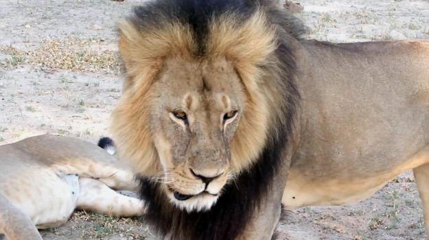 caccia, caso leone cecil, Sicilia, Società