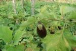 Furto di melanzane in un'azienda agricola a Licata