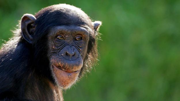 scimpanzè, uomini, Sicilia, Società