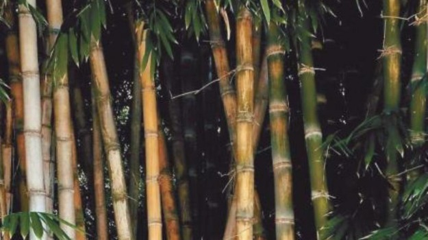bambù, orto botanico, Sicilia, Cultura, Società
