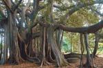 A Palermo nati 4 Ficus dal seme della stessa pianta: la prima volta in Europa