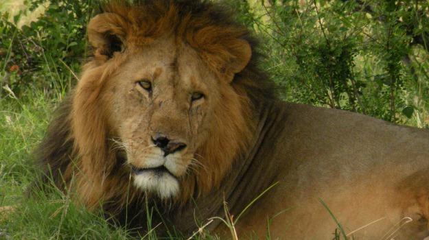 cacciatore, leone, safari, Sicilia, Mondo