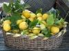 Aumenta la richiesta di limoni in Sicilia: usati come disinfettanti naturali
