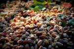 Dai Sicani alla Cina, il pistacchio agrigentino trionfa. Aumentano le esportazioni