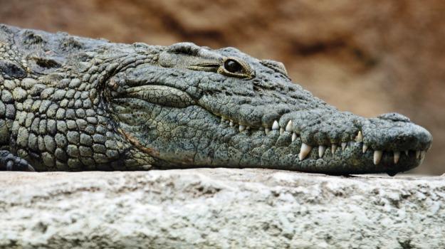 australia, donna sbranata coccodrillo, Sicilia, Mondo