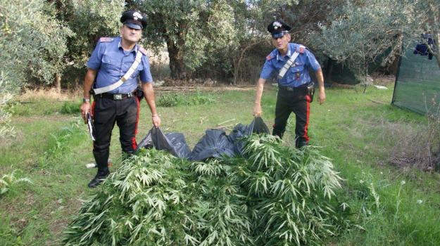 arresti, cerda, droga, marijuana, Palermo, Palermo, Cronaca