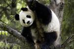 Colpita la foresta del panda gigante: distrutti 1300 ettari