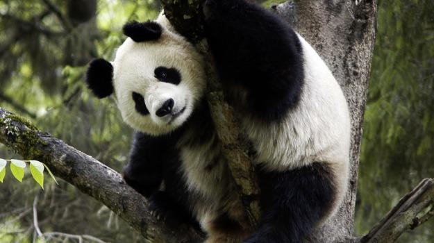 foresta, panda gigante, Sicilia, Società