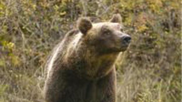 orso, parco d'abruzzo, Sicilia, Società