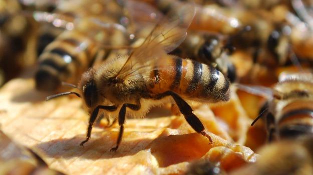 AGRICOLTURA, api, Stati Uniti, Sicilia, Animali, Vita