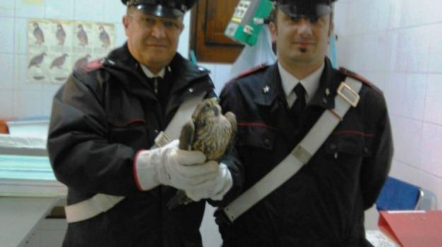 baucina, carabinieri, falco pellegrino, Palermo, specie protetta, uccello, volatile, Palermo, Cronaca
