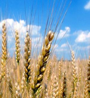 Allarme degli agronomi di Trapani: no al grano duro canadese, è contaminato