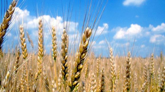 agronomi trapani, grano duro canadese, Trapani, Cronache dell'agricoltura, Economia