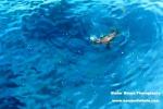 Da preda a predatore, leone marino attacca uno squalo: il video