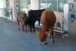 Sorpresa all'aeroporto di Catania, mucche a spasso davanti al terminal arrivi: il video
