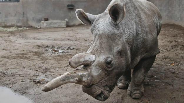 rinoceronte bianco, Sicilia, Società