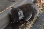 Caldo record in Australia, koala beve... da una pozzanghera - Video