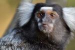 """Le scimmiette """"marmoset"""" percepiscono le melodie come l'uomo"""