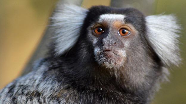 scimmiette, suoni, Sicilia, Società