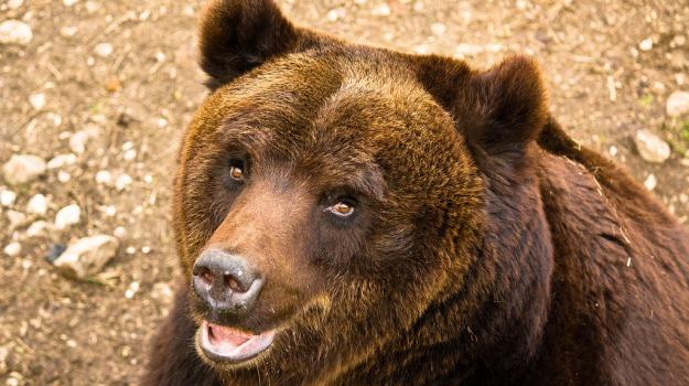 orso marsicano, parco nazionale d'abruzzo, Sicilia, Società