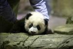 Prima uscita per un cucciolo di panda: Bei Bei è già star del web - Video