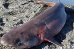 Pescato a Gioiosa Marea uno squalo di 150 chili: le foto