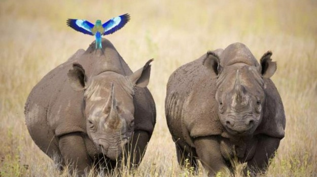 rinoceronte, Sicilia, Società