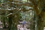 Nelle Madonie un piano per salvare il boschetto di agrifogli giganti di Piano Pomo