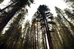 Allarme siccità: a rischio gli alberi della California
