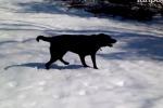 Rafi, il labrador che impazzisce per la neve