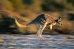 Automobilista travolge e uccide 17 canguri, è caccia all'uomo