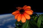Ecco il primo fiore sbocciato nello spazio