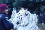 """Lewis Hamilton e """"l'abbraccio"""" con una tigre bianca: il video"""