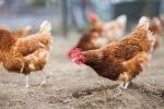 """Animali da allevamento: il 17% delle razze è a """"rischio estinzione"""""""