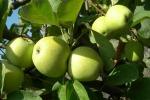 """Le antiche mele dell'Etna sono """"slow food"""""""