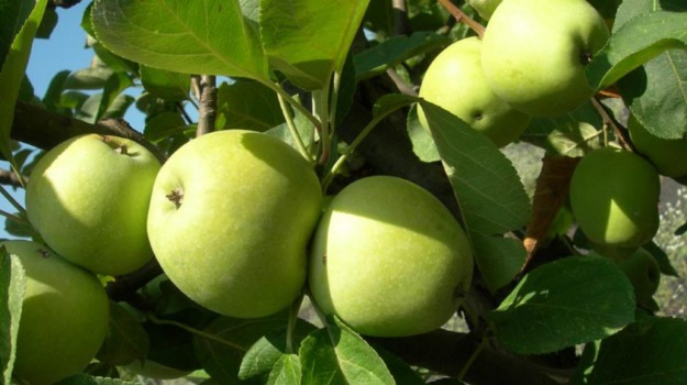 AGRICOLTURA, mele, slow food, Catania, Economia