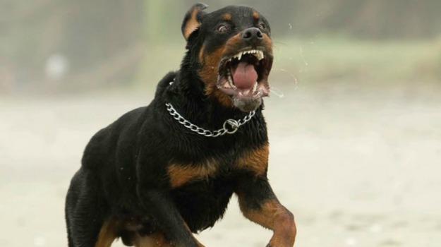 bambino, cani, rottweiler, Caltanissetta, Cronaca