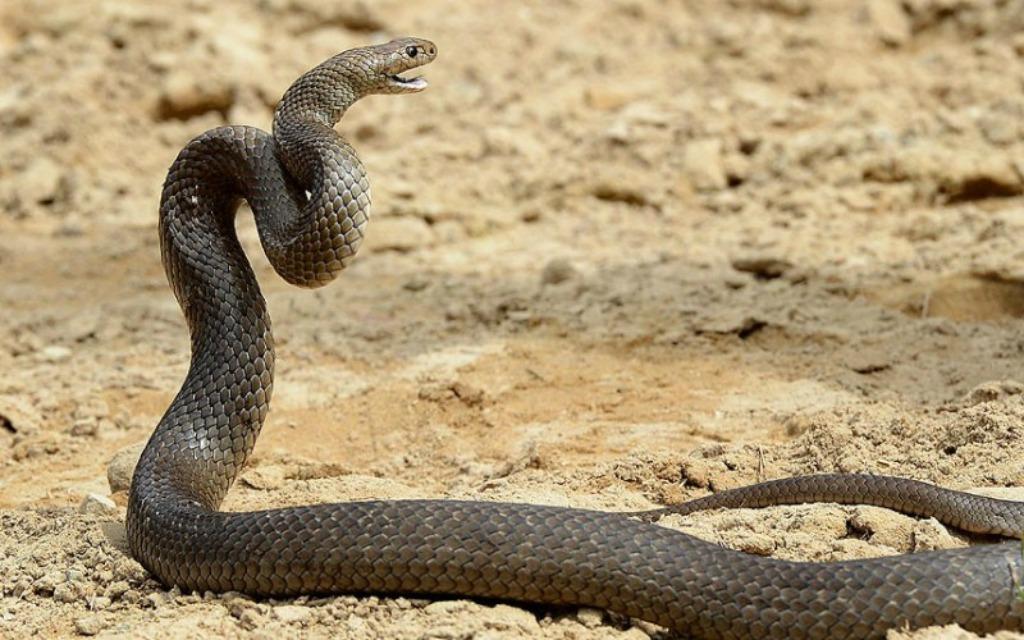 serpente striscia fuori dal muro del pianto. per la profezia sta per tornare il messia (video)