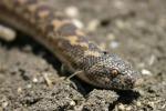 Dai dolori articolari al tumore al seno, il veleno dei serpenti potrebbe salvarci