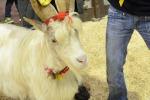 Dalla Sicilia a Verona, la capra girgentana star di Fieragricola