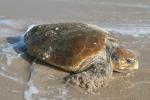 Conoscere le Caretta caretta, iniziative nelle spiagge agrigentine