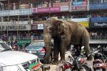 Elefante semina il panico in città: il video
