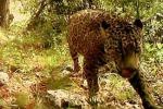 """Vive libero negli Stati Uniti: ecco il giaguaro detto """"il boss"""" - Video"""