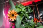 Raccolto il primo mazzo di fiori spaziale